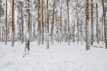 A view of the snow-covered pine forest on a cloudy winter day, Latvia