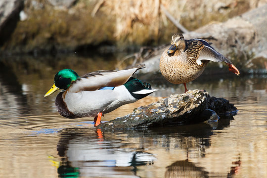 Mating Pair of Mallards in a Stream