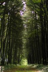 allée en forêt