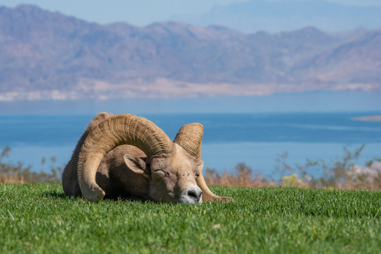 Bighorn sheep napping in the grass near Lake Mead