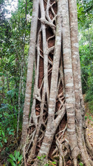 Strangler Fig Tree in the tropical forest close up view