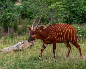Bongo antelope (Tragelaphus eurycerus)