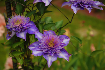 Isolated Perspective of  Blooming Clematis Flowers, Vibrant Purple Petals, Deep Yellow White Pistils/Stamen/Centers,  Green Leaves, Daytime