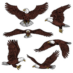 Bald eagle predatory birds vector sketch