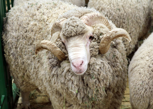 Soviet merino sheep is a hoofed mammal with thick hair and edible meat