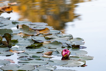 Single pink water lily flower with green lily pads on a pond, fall color reflected on the water