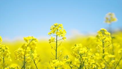 黄色く染まった菜の花畑