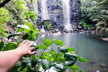 Discovery - hand on kawakawa plant at Wairoa (Te Wairere) Waterfall and swimming hole, Kerikeri, Northland, New Zealand, NZ