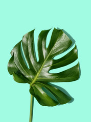 One tropical leaves Monstera turquoise pastel background top view flat lay