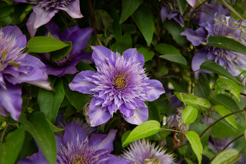 Isolated View of Blooming Clematis Flowers, Rich Purple Petals, Deep Yellow White Pistils/Stamen/Centers, Green Leaves, Daytime