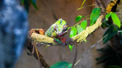 Fotobehang Kameleon lizard