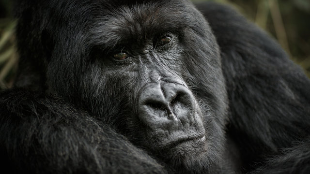 Huge gorilla silverback close up portrait. Wild animal in the nature habitat. African wildlife.Big and charismatic gorilla leader. Mountain gorilla. Gorilla beringei beringei