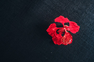 Phoenix flower isolated | red flower isolated on black background