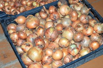 ripe onion sets in a plastic box
