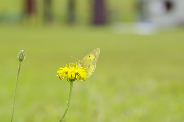 タンポポと蝶1