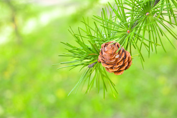 Sprig of European Larch or Larix decidua with pine cones on blurred background