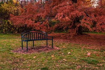 Dawn Redwood tree in autumn at Finch Arboretum, Spokane, Washington, USA