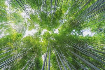Photo sur Plexiglas Bamboo Bamboo grove at Arashiyama bamboo forest in Kyoto, Japan