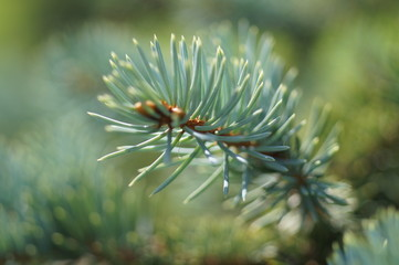 spruce branches in the forest