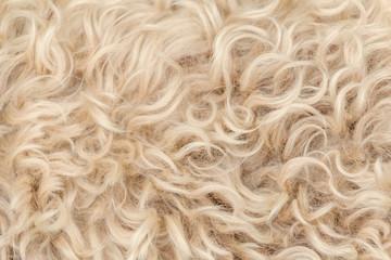 Irish soft coated wheaten terrier white and brown fur wool