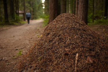 Horizontal picture of large gigantic anthill in coniferous forest. Close up view of nest built by ants or termites in autumn woods with unrecognizable human having walk along path in background