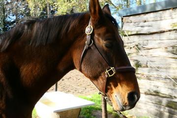 Canvas Prints Horses Bruin paard