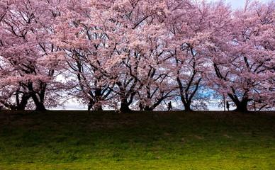 Cherry blossom at Sewari river bank, Kyoto, Japan