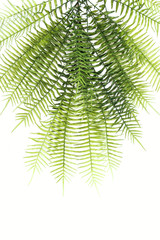 flat lay with beautiful green fern branches isolated on white