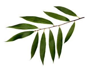 White willow or white Willow.