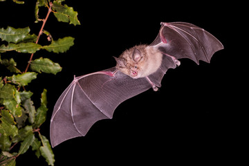 Greater Horseshoe Bat Flying