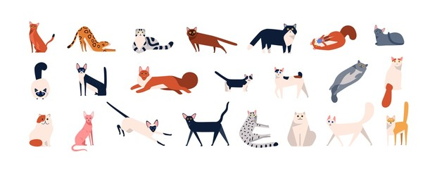 Fototapeta Bundle of adorable cats of various breeds sitting, lying, walking. Set of cute funny pets or domestic animals with colorful coats isolated on white background. Flat cartoon vector illustration.