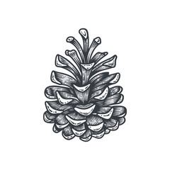 Hand drawn pine cone, engraved vector illustration isolated on white background