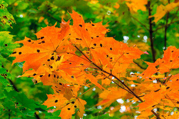 Maple tree with orange leaves in the park close-up