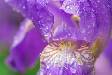 Iris flower close