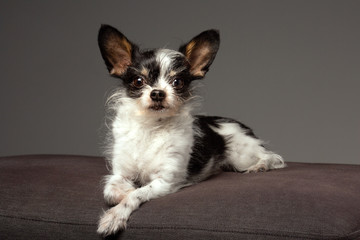 Cute small dog portrait