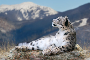 Ingelijste posters Luipaard Snow leopard lay on a rock against snow mountain landscape