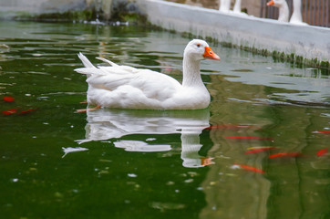 White goose.Barcelona Cathedral, located in Gothic Quarter in rainy morning