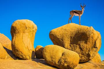 Antelope springbok on the rocks