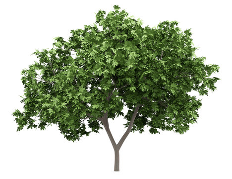 common fig tree isolated on white background