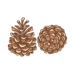 Set of Christmas hand drawn pine cones, engraved vector decor isolated on white background.