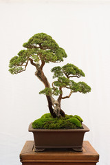 Foto op Plexiglas Bonsai bonsai tree isolated on white background. Japanese TRAY PLANTING or JAPANESE ART. nature concept