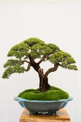 Printed kitchen splashbacks Bonsai bonsai tree isolated on white background. Japanese TRAY PLANTING or JAPANESE ART. nature concept