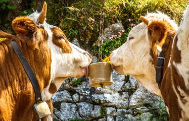 Fototapete - salt licking cows