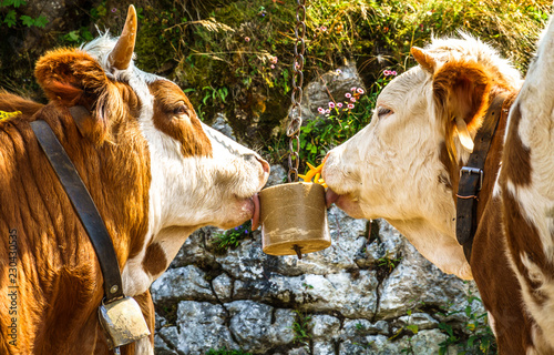 Wall mural salt licking cows