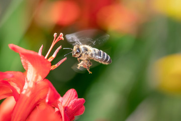 Eine Biene im Anflug auf eine Blüte der Garten Montbretie - Crocosmia Lucifer