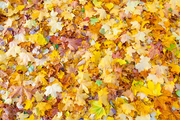 Yellow fallen leaves lie on the ground (texture, background)