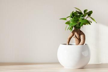 Foto auf Acrylglas Bonsai houseplant ficus microcarpa ginseng in white flowerpot