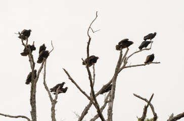 A large community group of Turkey Vultures roosting on a dead tree on an overcast day