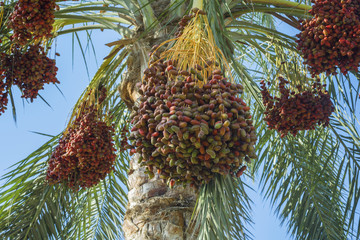 Ripe red fruits dates on date palm on the blue sky background