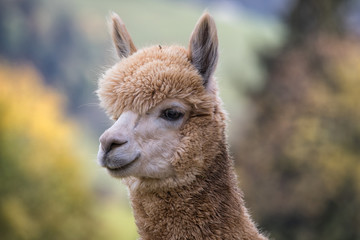 portrait of llama close up in switzerland